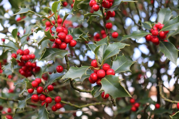holly adds color to winter landscaping
