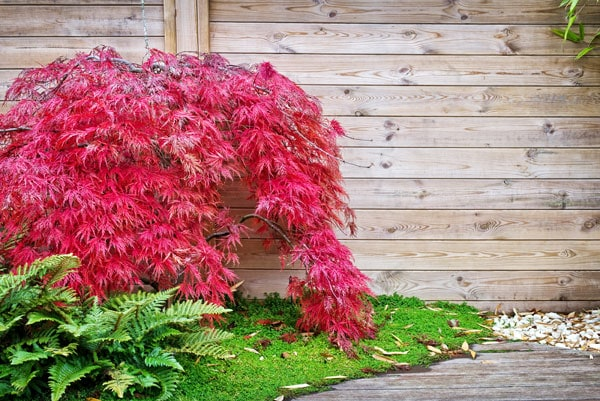 Japanese Maple is a popular tree used by landscape architects