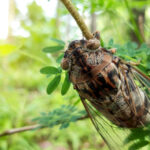 cicadas may have an effect on landscaping