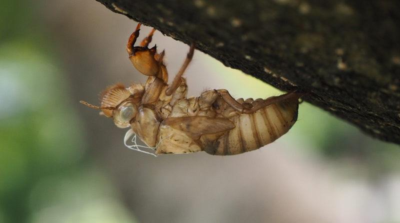 A cicadas exoskeleton gripping the bark of a young tree in landscaping